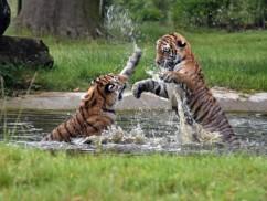 tiger-1531731_640